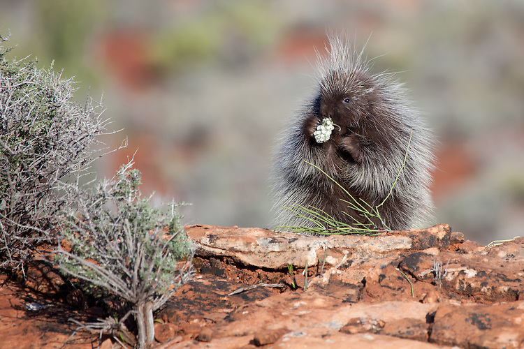 Porcupine eating wildflowers along a rocky hill - CA