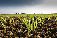 Winter Barley plants<br /> Picture Tim Scrivener 07850 303986<br /> &hellip;.covering agriculture in the UK&hellip;.