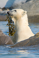Polar bear, Ursus maritimus, eating kelp near Churchill, Hudson Bay, Manitoba, Canada, Canadian Arctic, polar bear, Ursus maritimus