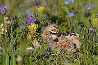 Female Horned Lark or Shore Lark (Eremophila alpestris) feeding young at nest among alpine wildflowers.  Western U.S., Summer.