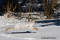 MA19-549z  Snowshoe Hare running on snow,  Lepus americanus