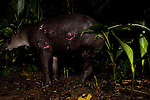 Baird's Tapir (Tapirus bairdii) male with wounds from fight with another male in rainforest, Tortuguero National Park, Costa Rica