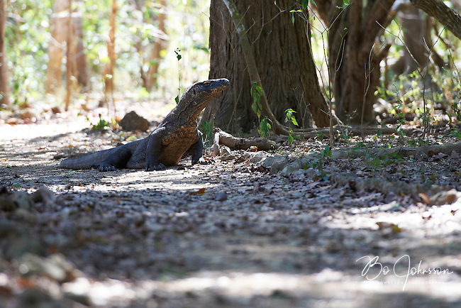 A big Komodo dragon (Varanus komodoensis) in the forest close to Loh Liang.<br /> The Komodo dragon only exists on the Indonesian islands Komodo (about 1100 ea), Rinca (about 1100 ea) and on the western part of Flores (about 50 ea).<br /> Komodo, Indonesia.<br /> July 2011.
