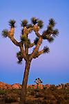 Evening light over Joshua Trees at Boy Scout, Joshua Tree National Park, California