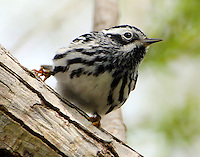 Male black-and-white warbler