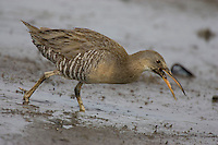 Clapper Rail; Rallus longirostris;  on mudflat in salt marsh; NJ, Delaware Bay