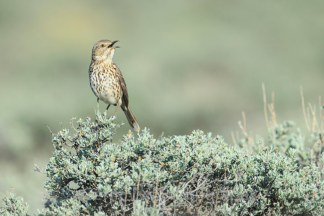 Sage Thrasher (Oreoscoptes montanus). Sublette County, Wyoming. May.