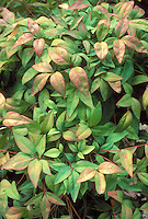 Pink and green foliage of the shrub Nandina domestica, Heavenly Bamboo