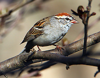 Adult chipping sparrow