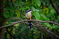 Pájaro Bobo Menor (Coccyzus minor)