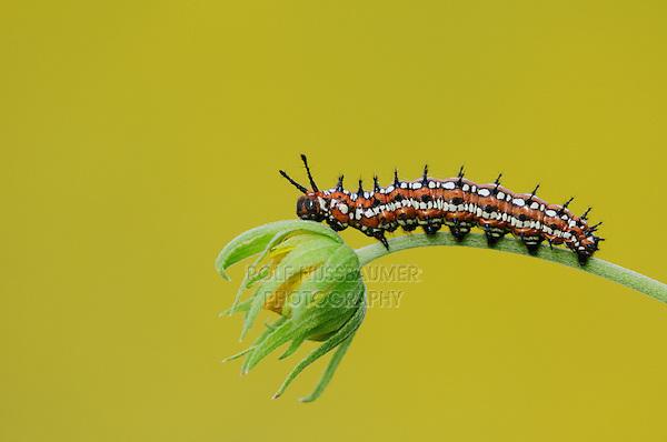 Caterpillar (Lepidoptera), adult walking on Cowpen Daisy, Golden Crownbeard (Verbesina encelioides), Laredo, Webb County, Texas, USA