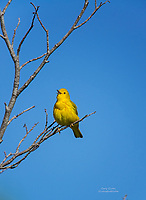 Yellow Warbler singing in springtime