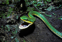 Green Parrot Snake; Leptophis ahaetulla; threat display; Costa Rica;