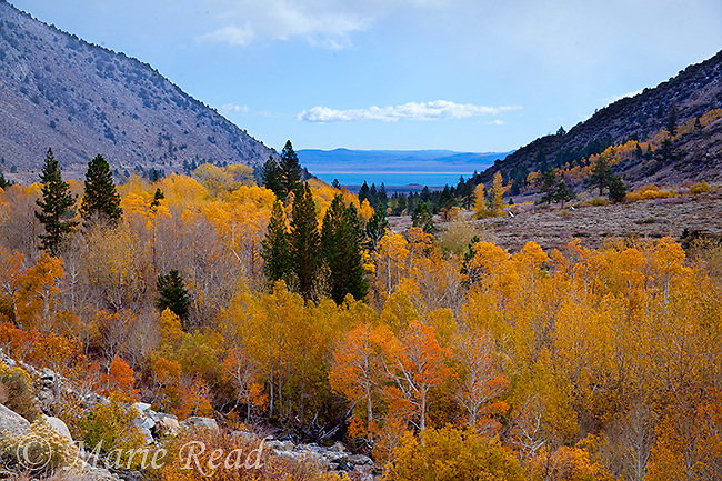 Quaking Aspens with golden foliage in autumn, Lundy Canyon with Mono Lake in distance, Mono Lake Basin, Callifornia, USA