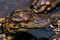 American Alligator. Alligator mississippiensis