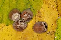Haselmaus, Fraßspur an Hasel, Haselnuß, Haselnuss, Haselmaus hat Nuss aufgeknabbert, Hasel-Maus, Muscardinus avellanarius, hazel dormouse, common dormouse, Schläfer, Schlafmäuse, Bilche, Bilch, Gliridae, dormice, Nussjagd, Nußjagd