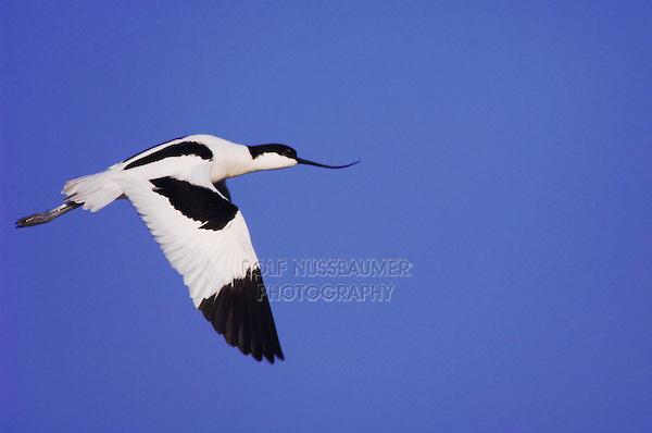 Pied Avocet, Recurvirostra avosetta, adult in flight, National Park Lake Neusiedl, Burgenland, Austria, April 2007