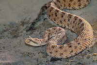 477204009 a sidewinder crotalus cerastes curls into an s-curve defensive position preparing to strike if threatened  this is a captive snake