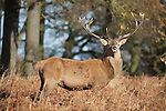 Red Deer in Richmond Park, London England in fall.