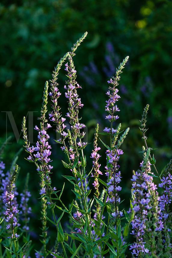 Lavender wildflowers, New Jersey, USA
