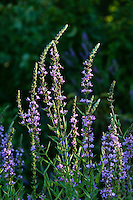 Lavender wildflowers, New Jersey, USA