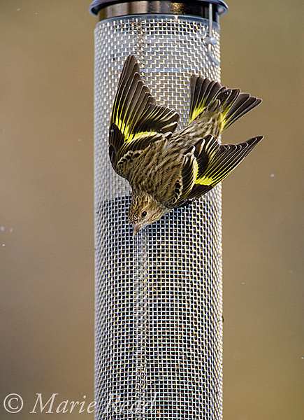 Pine Siskin (Carduelis pinus) giving aggressive display to others at backyard nyjer (thistle) seed feeder in winter, New York, USA