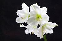 White Amaryllis flower silhouette