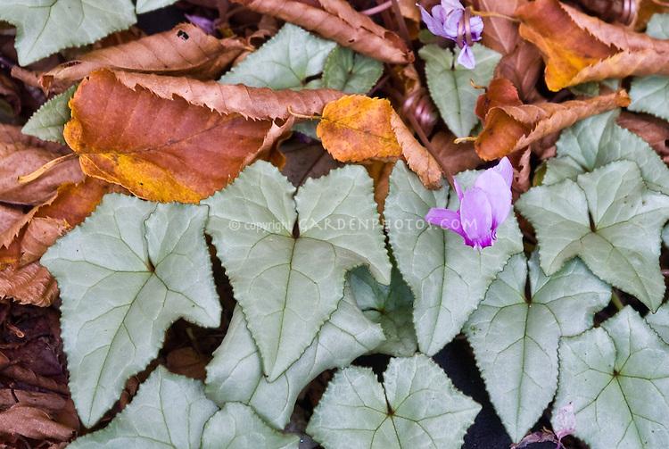 Cyclamen hederifolium autumn flowering bulb plant flower stock cyclamen hederifolium in pink flower bloom silver leaves in autumn fall mightylinksfo Gallery