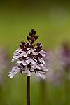 Lady Orchid, Orchis purpurea, Bonsai Bank, Denge Woods, Kent UK, Red Data List, Endangered & Critically Endangered, resembles women in dress
