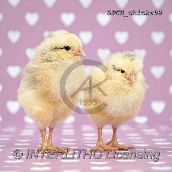 Xavier, EASTER, OSTERN, PASCUA, photos+++++,SPCHCHICKS58,#e#, EVERYDAY ,chicken