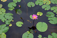 Pink waterlily blooming in a pond near Taipei, Taiwan.