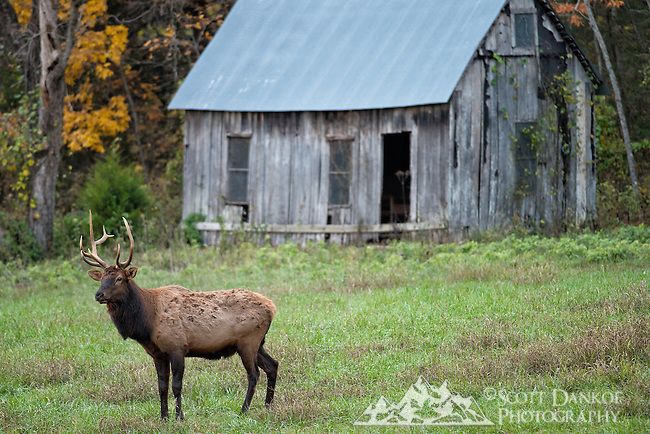An elk during early evening light near the Buffalo National River, Arkansas.