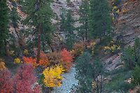 Fall colors have arrived  to Zion National Park, Utah