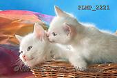 Marek, ANIMALS, REALISTISCHE TIERE, ANIMALES REALISTICOS, cats, photos+++++,PLMP2221,#a#