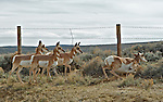 A group of Pronghorn pass under a barbwire fence rather than jumping, near Pinedale Wyoming on the Pathway of the Pronghorn.