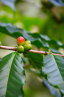 A close-up of red and green coffee cherries on tree at Kaleo's Koffee orchard in Pa'auilo Mauka on the Big Island.