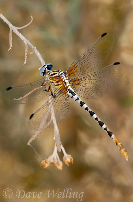 385370001 a wild white-belted ringtail perches on an arroweed plant near el centro in imperial county california united states