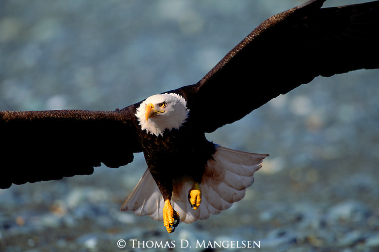 Captured in the magnificence of flight, a bald eagle soars through the air scanning the water below for a meal of sockeye salmon in Southcentral Alaska.