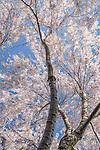 Yoshino Cherry blossoms at the Arnold Arboretum in Jamaica Plain, Boston, Massachusetts, USA