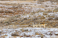Wild adult male gray wolf (Canis lupus), on right, posing with two 6 month old pups.  Yellowstone National Park, fall.  Alpha female is resting on the left side of photo.