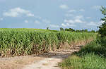 Cuba; a dirt road runs along a field of sugar cane in the Cuban countryside along the route from Havana to Jucaro