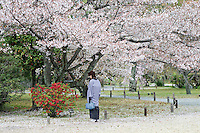 A woman, in traditional Japanese costume stands  beneath a flowering cherry blossom tree