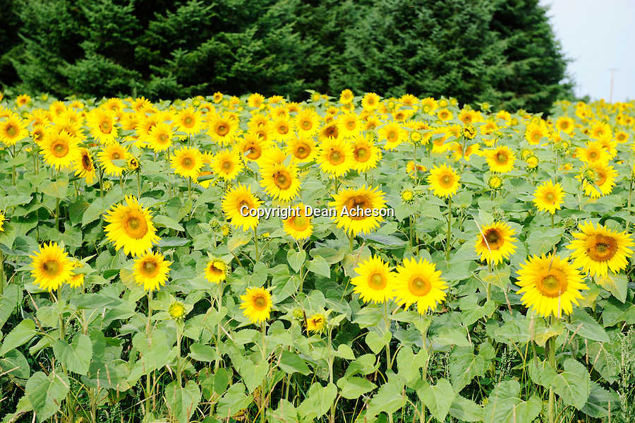 A field of sunflowers bath in the morning sunshine.