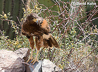 0405-1214  Harris's Hawk, Harris Hawk (Bay-winged Hawk or Dusky Hawk), Parabuteo unicinctus  © David Kuhn/Dwight Kuhn Photography