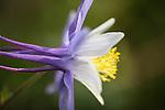 Blue Columbine wildflower, photographed along Black Bear Pass in southwest Colorado