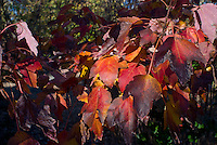 Acer rubrum 'New World' Red maple tree in autumn color