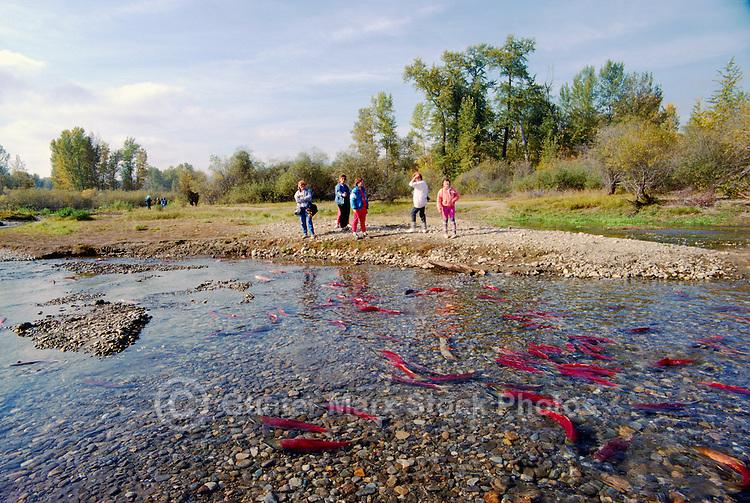 Annual Adams River Sockeye Salmon Run (Oncorhynchus nerka), Roderick Haig-Brown Provincial Park near Salmon Arm, BC, British Columbia, Canada - Tourists watching Fish returning to Spawn