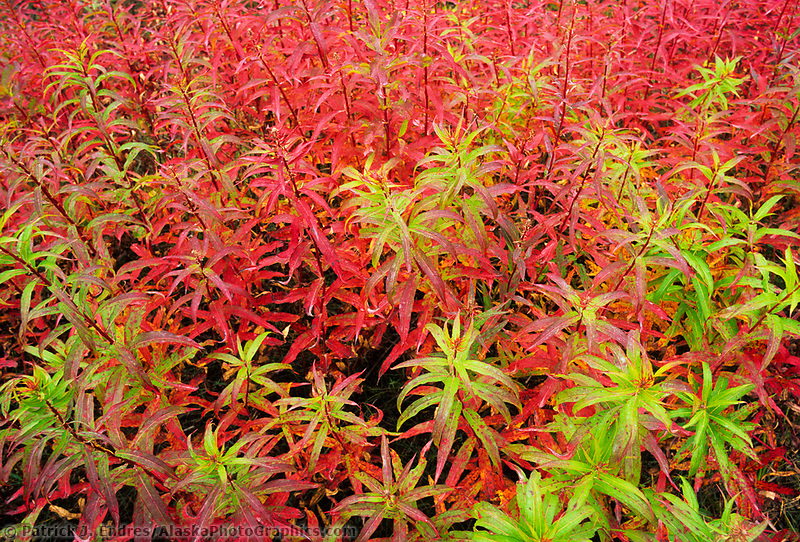 Fireweed leaves turning red in late autumn, arctic, Alaska.