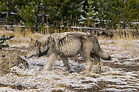 Wild GRAY WOLF (Canis lupus).  Greater Yellowstone Area.  Fall.  This is about a six month old pup with a full belly.