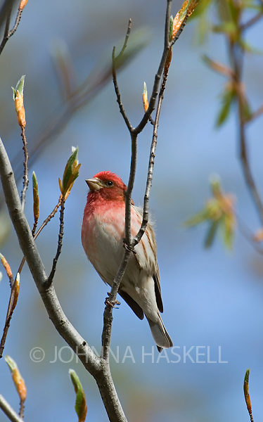 The purple finch in spring shows a vibrant red color during the mating season.